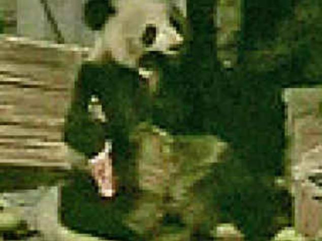 CINA: PANDA AFFAMATO, DALLE  MONTAGNE AL RECINTO DEI MAIALI