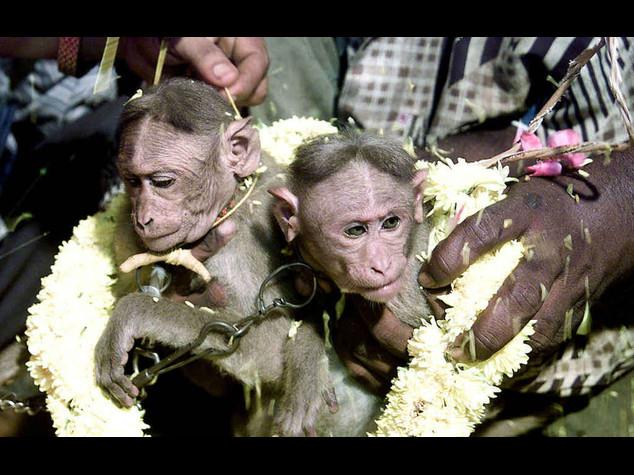 Due scimmie si sposaso in India per volere del proprietario