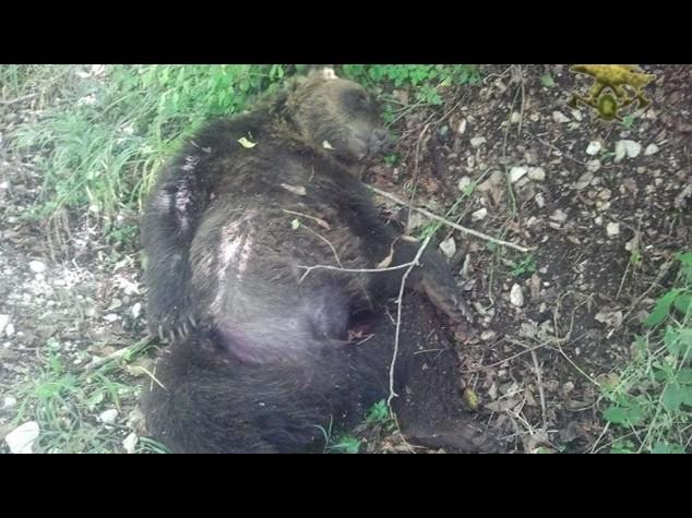 Bufera sul caso Daniza, intanto muore un altro orso in Abruzzo