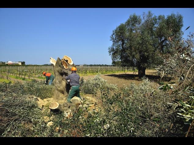 Xilella:Corte Giustizia Ue, Bruxelles può ordinare taglio ulivi