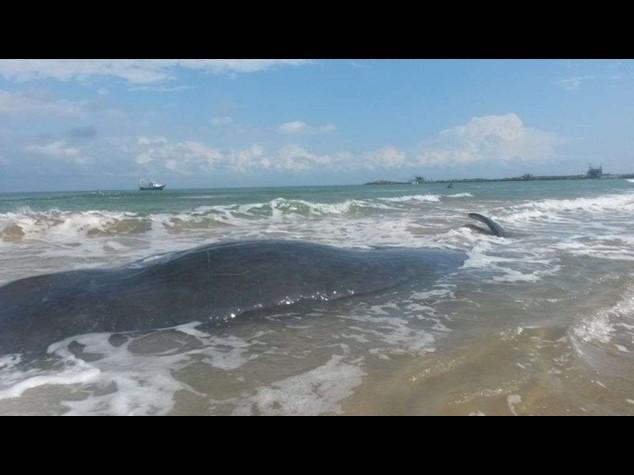 Sette capodogli spiaggiati a Vasto, solo 4 in salvo - Video e Foto