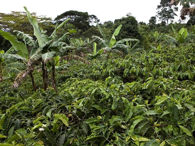 Burundi: Senato approva progetto per rilancio settore del caffe'