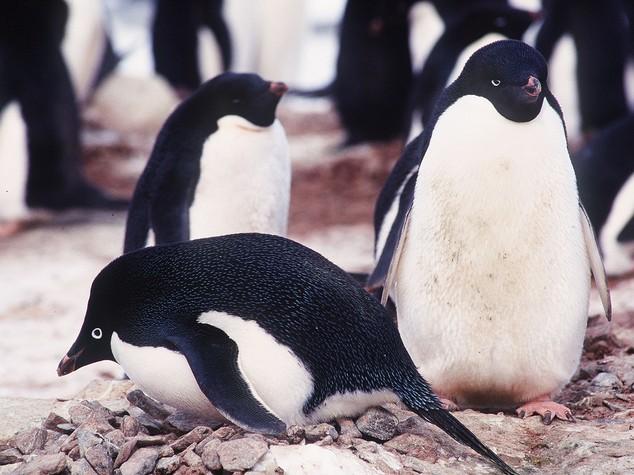 Strage di pinguini in Antartide, morti 150.000 a causa di un iceberg