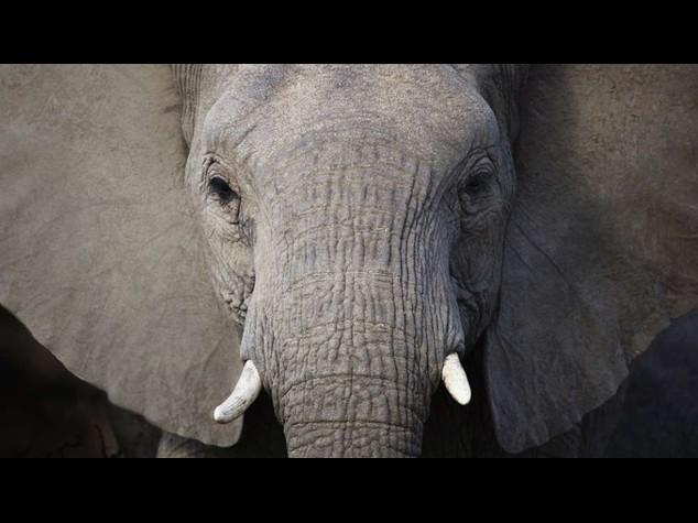 """Thailandia: ucciso elefante che """"recito'"""" in film di Oliver Stone"""
