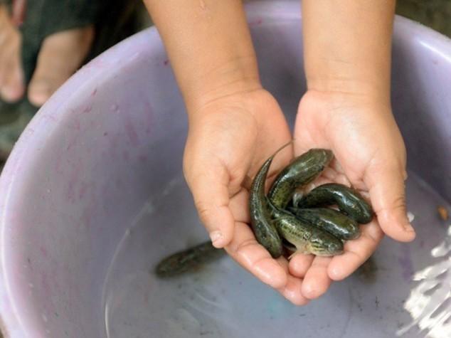Zanzare ogm e pesci Sambo, le armi 'green' contro Zika