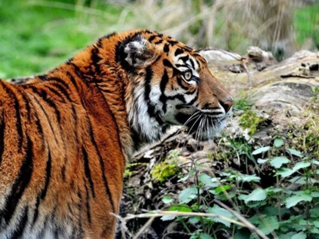 Bioparco Roma nuova casa della tigre Tila - video