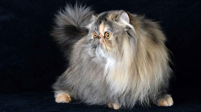 Persiana Wittoria è Gatto Più Bello