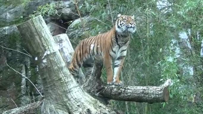 Al Bioparco è arrivata Tila, la tigre di Sumatra