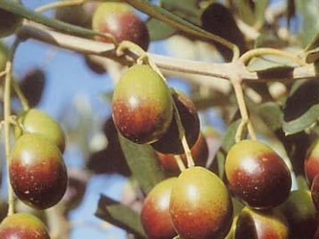 Olio: Sicolo (Cno),e' decisivo rafforzare rapporto con territorio
