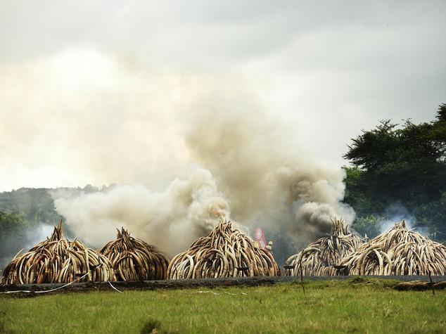 Rogo record da 105 milioni contro la strage degli elefanti