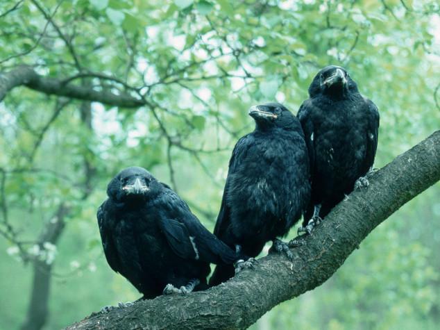 Messaggero di morte e spia, solo Windsor coccola il corvo