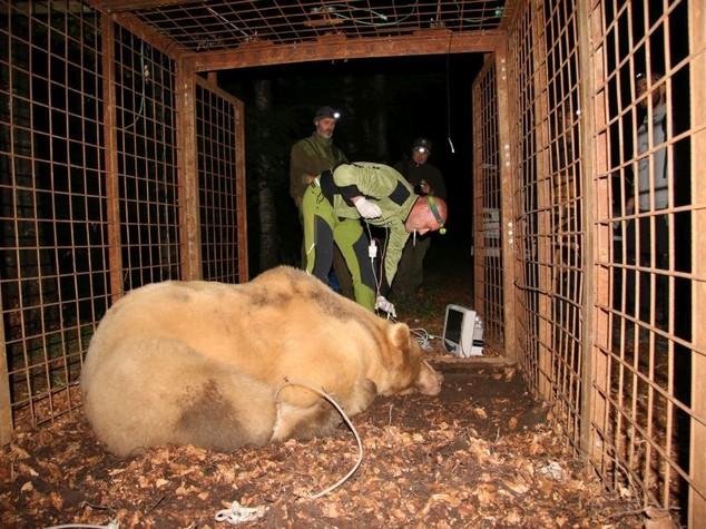 Catturato orso da due quintali su monte Lovinzola in Friuli