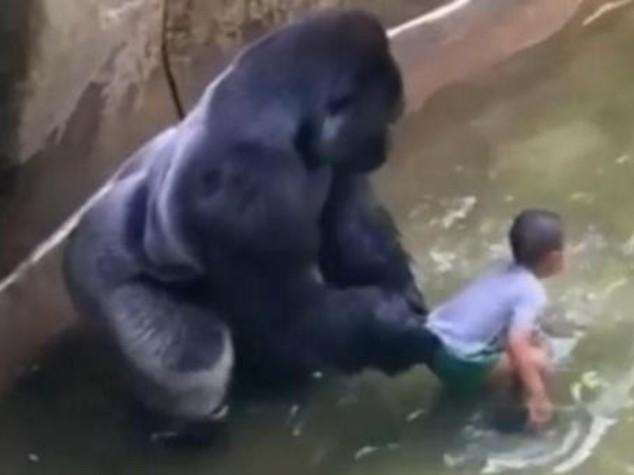 """Gorilla ucciso, i genitori si difendono """"incidenti capitano"""" - Video"""