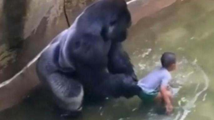 Gorilla ucciso, la polizia indaga sui genitori del bimbo