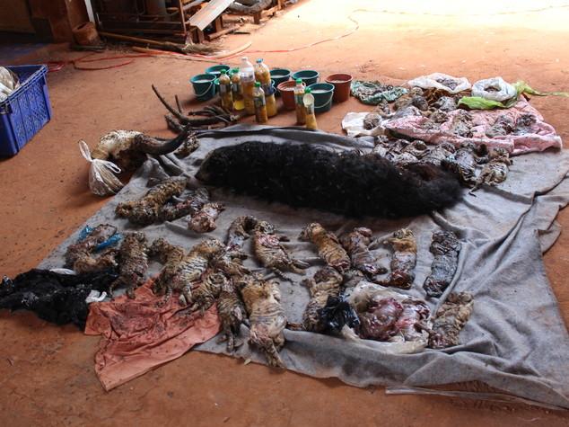 Scempio in Thailandia, 40 cuccioli morti nel Tempio della Tigre