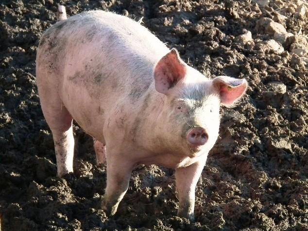 Alimentare: Assica, via libera a export di carni suine in Cina