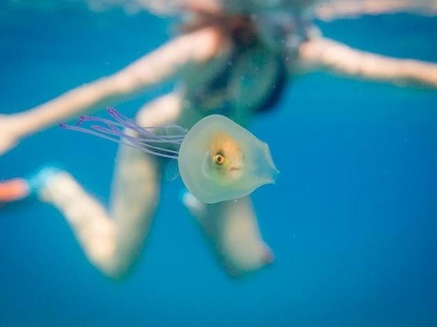 Pesciolino dentro la medusa, lo scatto fa il giro del mondo