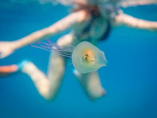 Pesciolino intrappolato in una medusa, la foto è pazzesca /Guarda