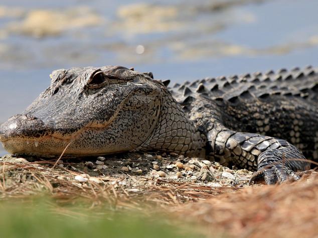 Usa, trovato corpicino del bimbo preso dall'alligatore