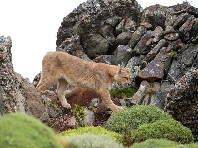 Puma attacca bimbo, mamma eroica glielo strappa dalle fauci