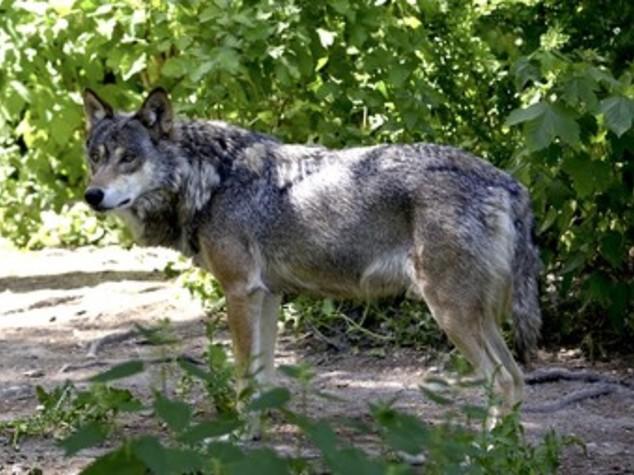 Coldiretti: allarme per presenza lupi su montagne del Torinese