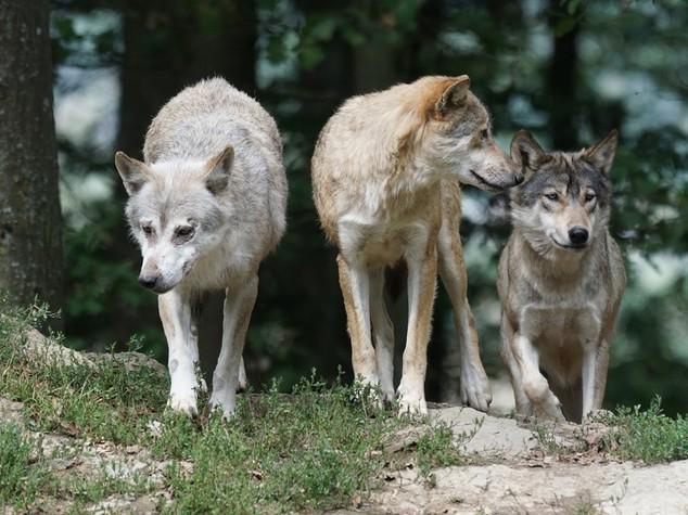 Ambiente: Coldiretti, in Italia 1.800 lupi, raddoppiati in 3 anni