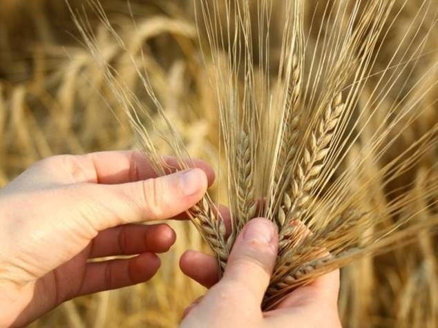 30 mila aziende a rischio per crollo prezzi grano