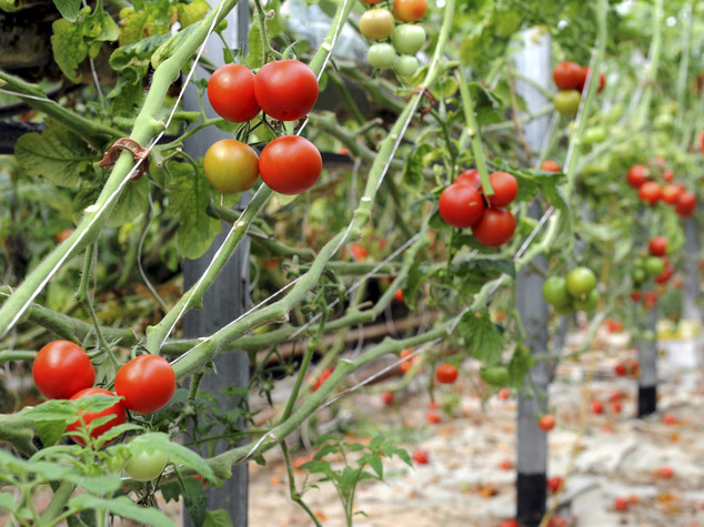 Ghana: India supports project on tomato cultivation