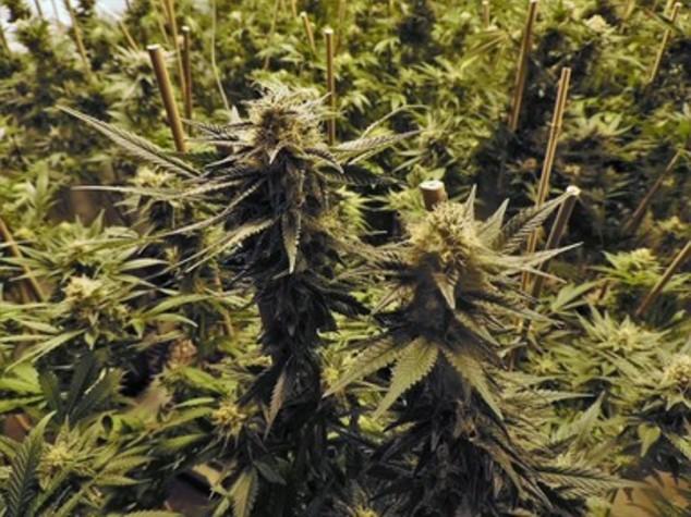 Droga: maxipiantagione cannabis da 3 mln euro in boschi Gallura