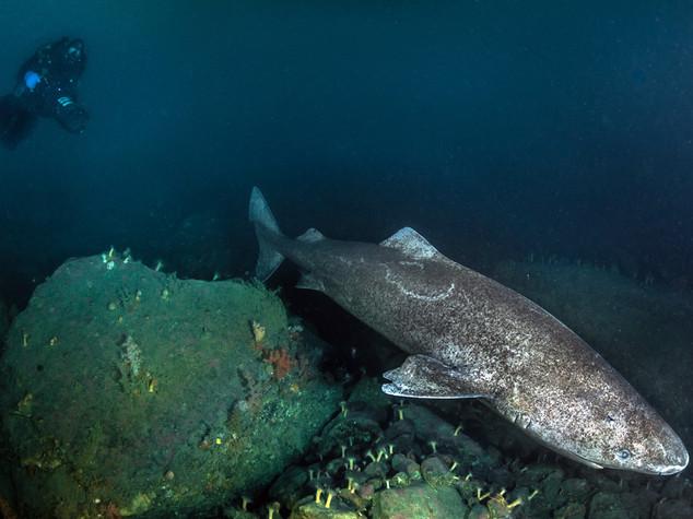 Scienza: squalo Groenlandia animale piu' longevo, vive 400 anni