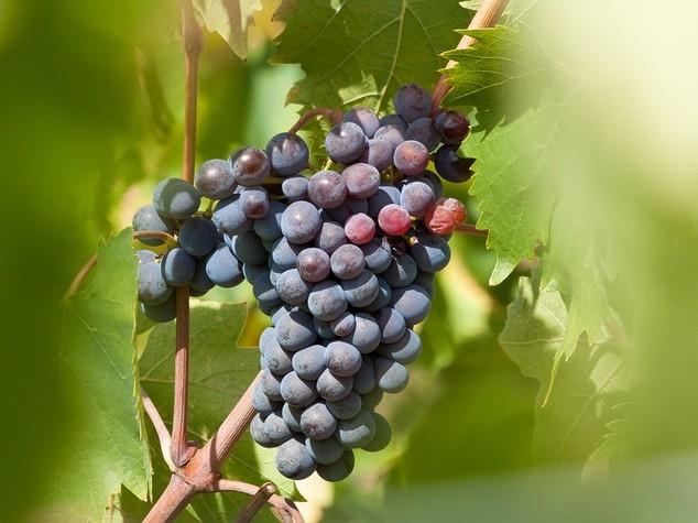 Crolla la produzione di vino in Francia, primato dell'Italia