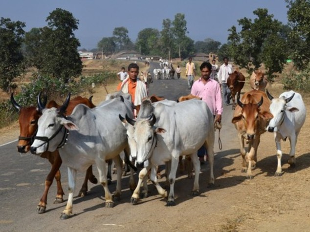Basta frontali con bovini, in India arrivano corna catarifrangenti