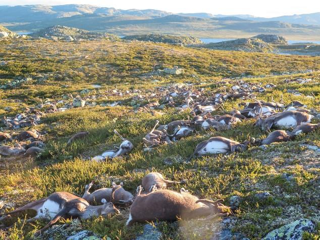 Norvegia, un fulmine fa strage di renne