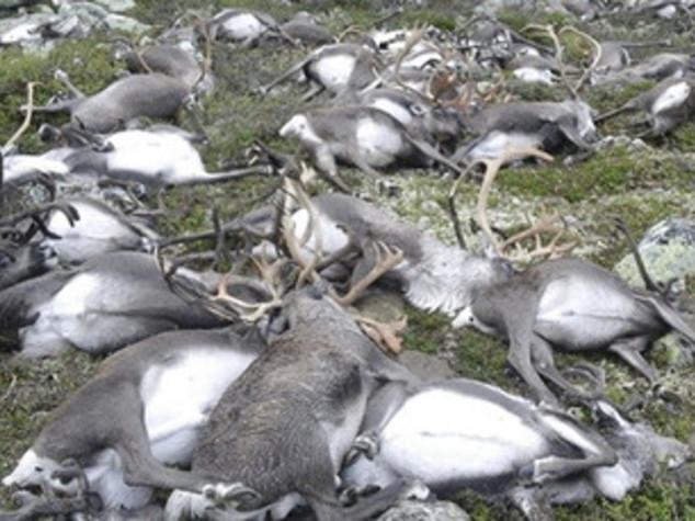 Norvegia, un solo fulmine uccide 323 renne