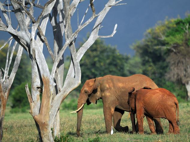 """Elefanti """"nuovi dinosauri"""", in 40 anni scomparso il 75%"""