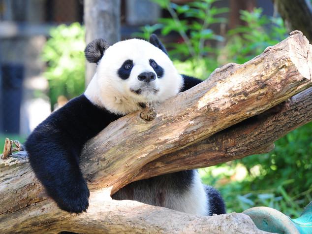 Panda gigante non rischia più l'estinzione