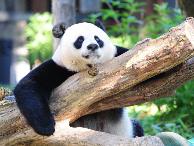 Il panda non è più a rischio estinzione