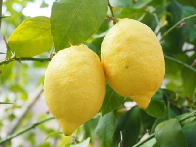 Agricoltura: Coldiretti, i limoni siciliani in via d'estinzione