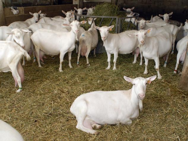 Mucca pazza: italiani scoprono gene che salva caprini