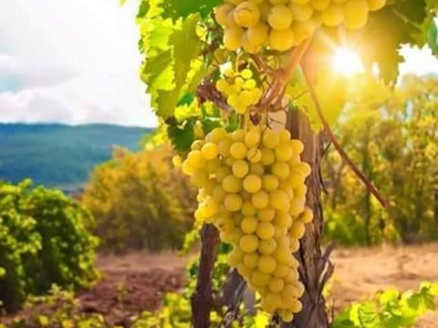 "Vini: Strada vino Soave, al via progetto ""adotta una Garganega"""