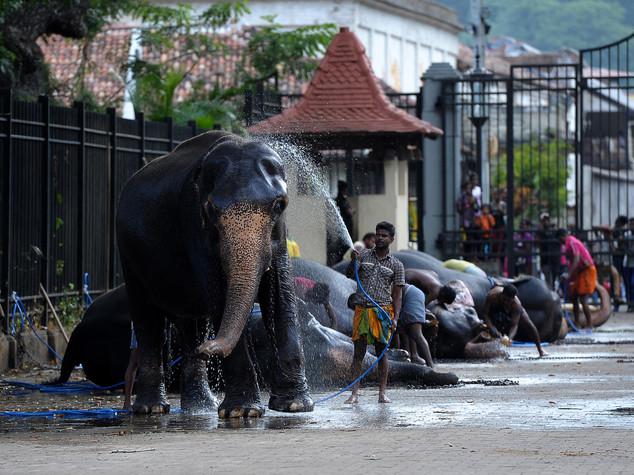 Sri Lanka, lite fra elefanti in un tempio. Muore una donna