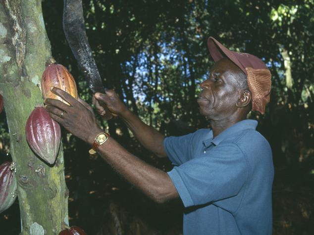 Ghana: il cacao futuro per i giovani; Cocobod lancia un progetto