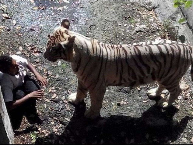 India: bimbo 12 anni sbranato da tigre bianca, 15 minuti di agonia -  Video