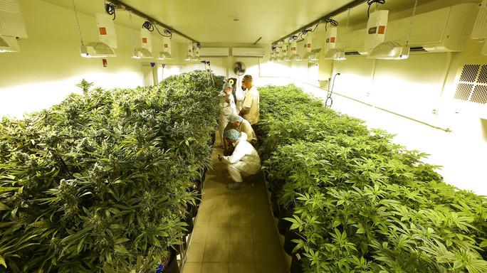 Scoperti due nuovi cannabinoidi