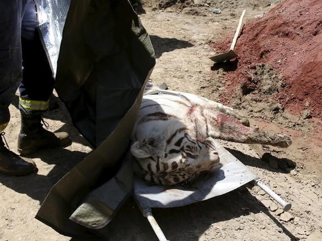 Tigre in fuga dallo zoo allagato, passante sbranato a Tbilisi