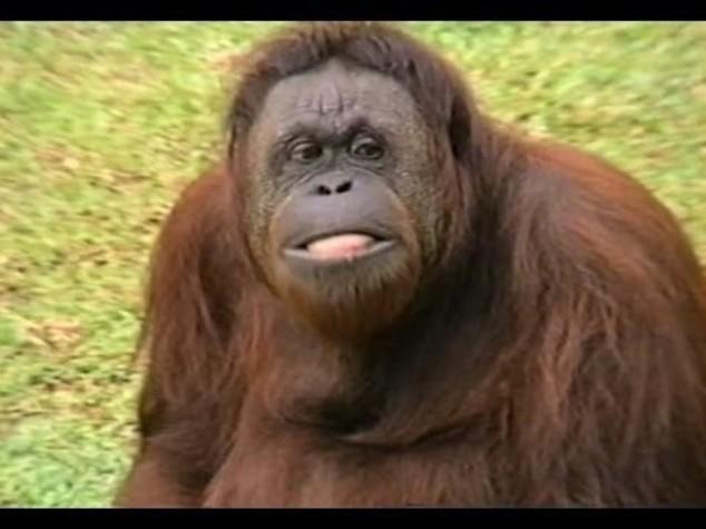 Anche gli oranghi potranno scegliere il partner su Tinder