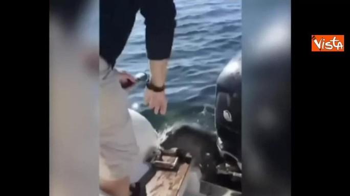 Cucciolo di leone marino salta sulla barca per sfuggire alle orche