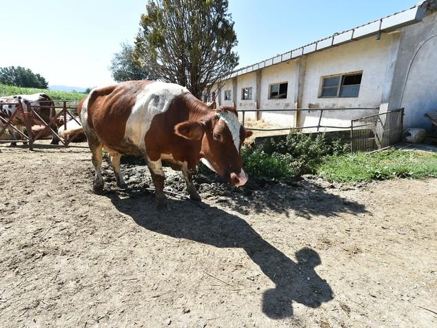 Un allevatore terremotato su tre si è ricostruito la stalla da solo