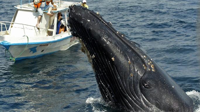 Le balene urtano le navi perché sono distratte. E lo fanno spesso