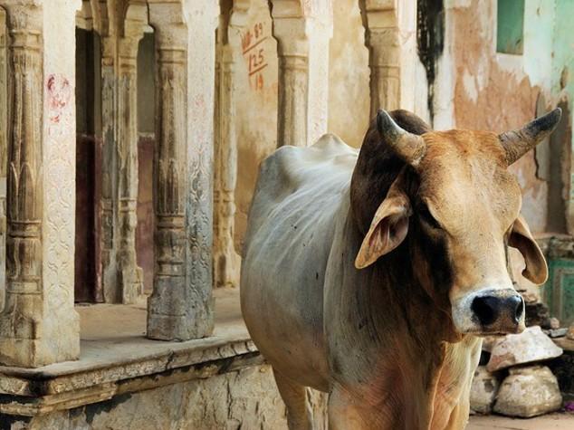 India: tribunale sospende veto vendita vacche per macellazione